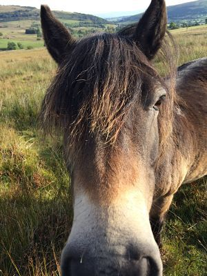 Lucie Stockdale conservation ponies_opt