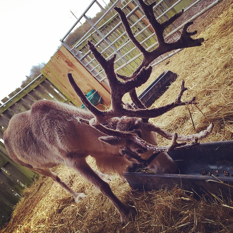 Tracey R Reindeer